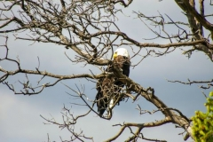 "Bald Eagles come to Booth Bay every spring to teach their young to fly and fish. Dozens of ""puffball"" heads can be seen in the upland trees along the foreshore, attracting many bird-watchers and photographers."
