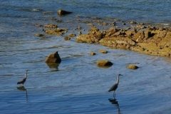 Great Blue Herons, a protected species, nest and feed in the proposed aquaculture area.